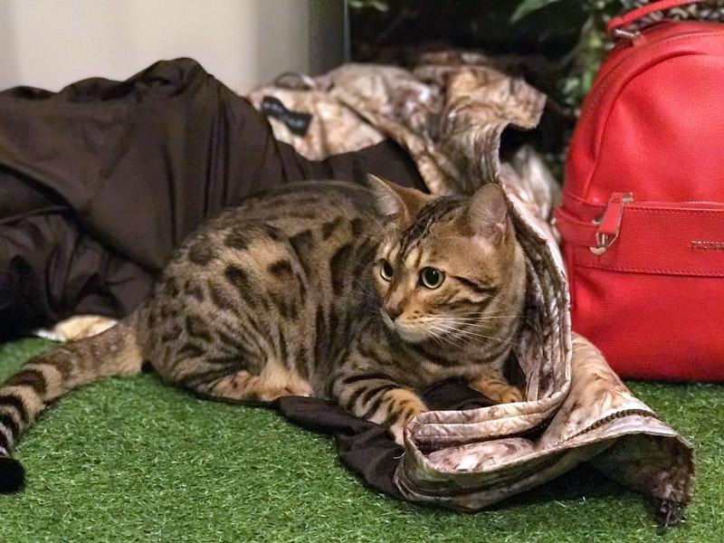 Кот породы бенгала в японском кеткафе